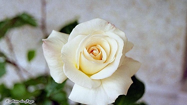 Por robar una rosa